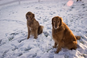 Simba and Nala our golden retrievers